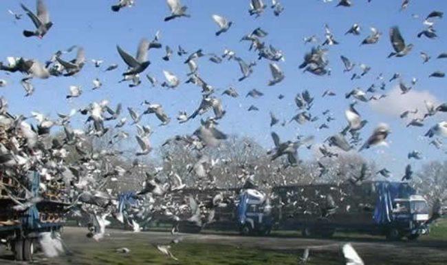 concurs porumbei ungaria