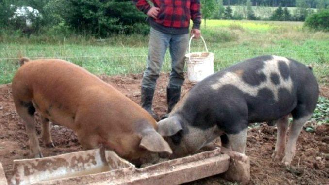 Porci crescuti in gospodarie