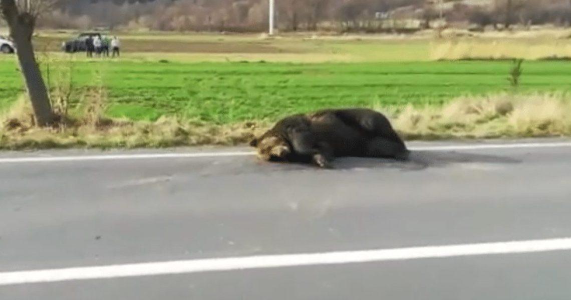 urs lovit de masina